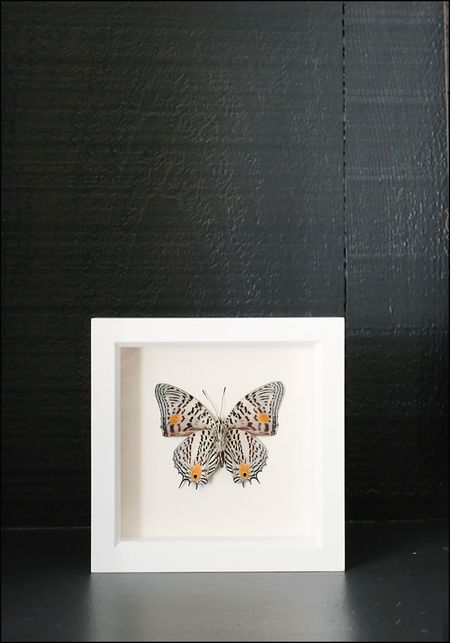 Bugs Under Glass Framed Narrow Lined Butterfly